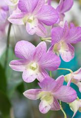 pink hybrid Dendrobium orchid flower