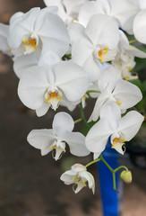 hybrid white Phalaenopsis flower