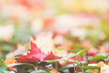 autumn maple leaves on green hedge
