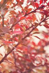 barberry bush in autumn sunlight