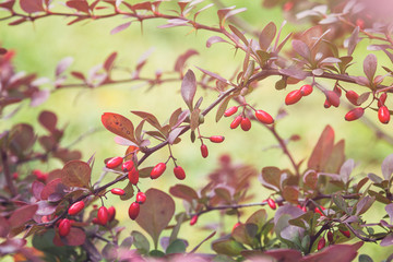 barberry bush in autumn sunlight