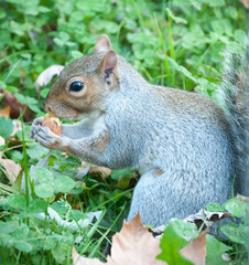 beautiful squirrel with his food