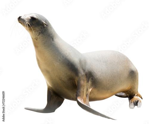 Staande foto Leeuw Earless seal