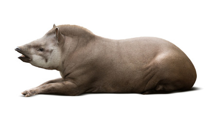 laying male tapir