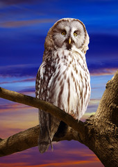 Great Grey Owl in sunset