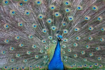 Beautiful peacock with colorful feathers