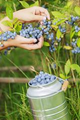 Blueberries - girl picking blueberries in the garden