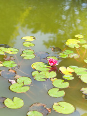 pink water lily plant with green leaves