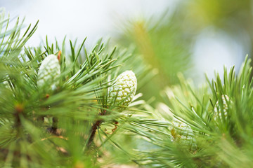 cones of crimean pine tree