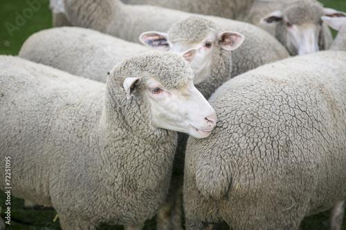 Foto op Canvas Schapen Schafe, Merinoschafe in einem Gehege