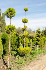 Original Fir-trees on the road