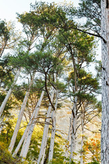 crimean pine trees on mountain slope in autumn