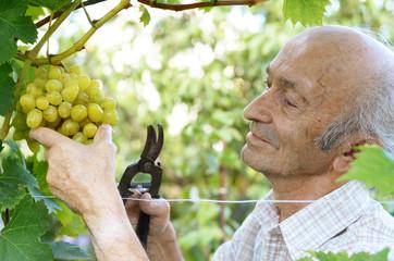 Senior farmer at vineyard