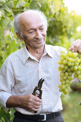 Senior farmer at vineyard