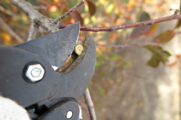 Pruning a fruit tree branch with a garden secateur