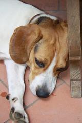 cane maschio  beagle elizabet