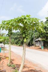 Papaya tree - tropical fruit tree