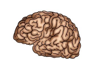 Human Brain - Illustration