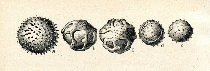 Pollen grains: a) malva, b,c) dandelion, d,e) yarrow