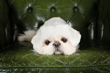 Pekingese Dog Laying on a green chair