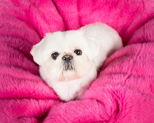 Pekingese Puppy on pink