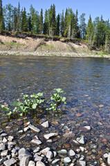 River landscape: taiga, pebbles and sun.