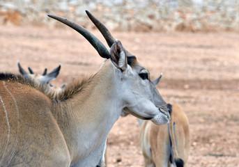 Taurotragus oryx, Antilope alcina