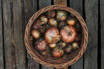 onion from the harvest in a basket