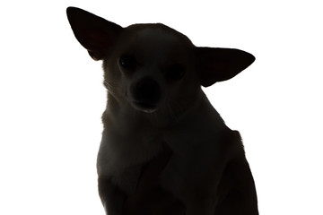 Silhouette of a dog chihuahua