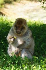Magot ou Macaque de barbarie en train de manger
