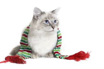 Ragdoll cat wearing a scarf