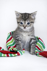 Christmas kitten with scarf