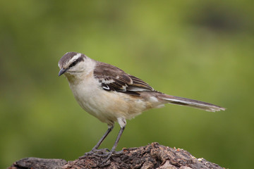 Ave . Calandria. Chalk-browed mockingbird