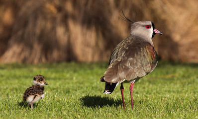 Ave - Tero  - southern lapwing