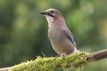 Jay perched on a branch