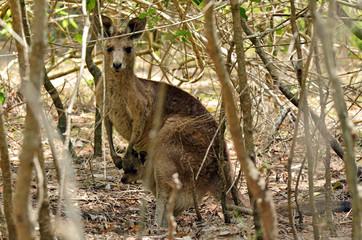 Eastern grey kangaroo female with her joey in Gold Coast Austral