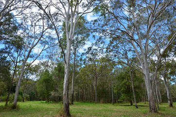 Wild eucalyptus tree forest