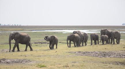 Pride of wild breeding elephants