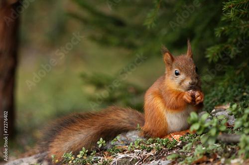 Foto op Plexiglas Eekhoorn Cute red squirrel in forest