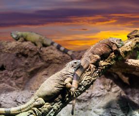 Iguanas   in sunset