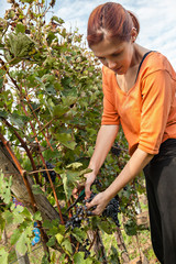 Young Woman Harvesting Grape