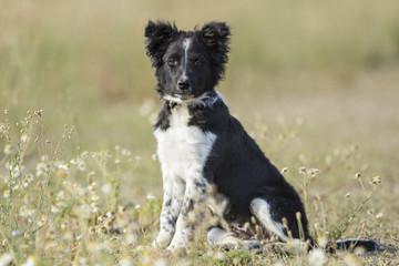 Perro border Collie Cachorro