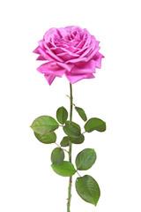 rose variété ancienne