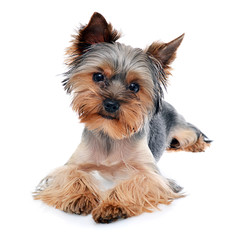 Young Beautiful Yorkshire Terrier Isolated on White Background