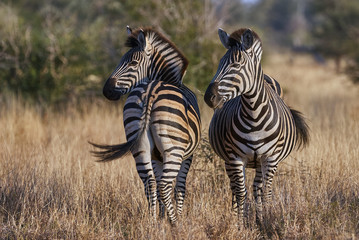 Two zebras on the African savannah