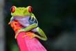 Leinwanddruck Bild - red eye tree frog perched purple flower, cahuita, costa rica