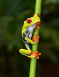 red eyed tree frog on branch, cahuita, costa rica