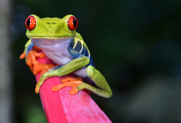 red eye tree frog perched purple flower, cahuita, costa rica
