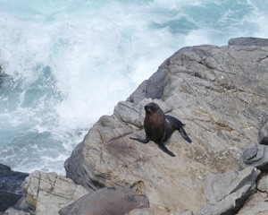 New Zealand fur seal or southern fur seal on Kanfaroo island