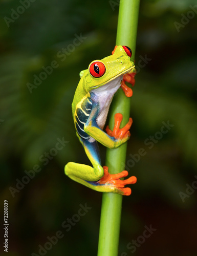 red eyed tree frog on branch, cahuita, costa rica - 72280839